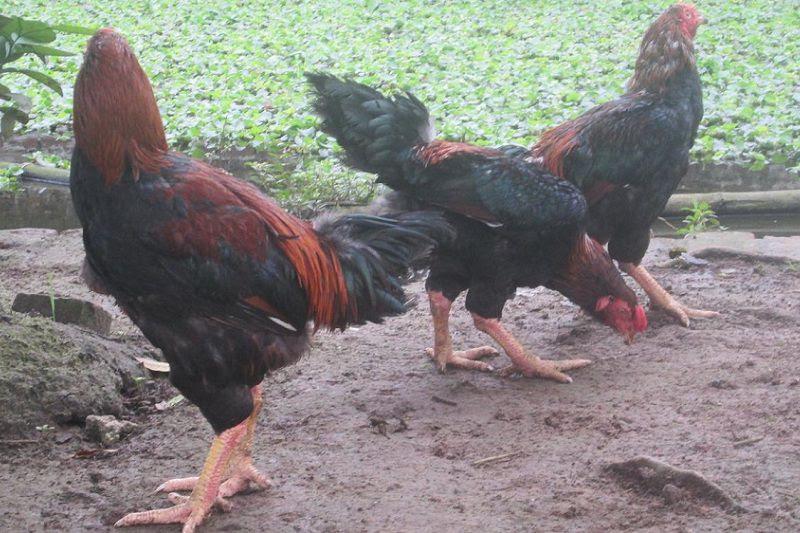 Bán thịt gà Hồ Bắc Ninh