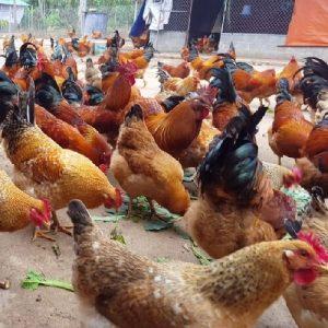 bán thịt gà tại thái nguyên 3