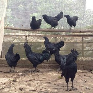 Bán thịt gà tại Yên Bái