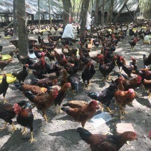 đặc điểm gà chạy bộ 2