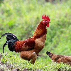 thịt gà chạy bộ sạch