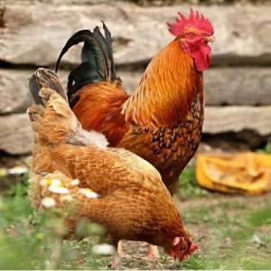 sự khác biệt giữa các loại gà 1