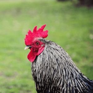 thị trường gà chạy bộ 1