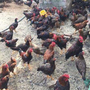 Cách nuôi gà ta hiệu quả 1