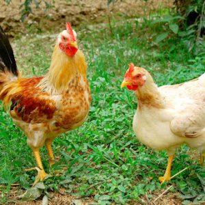 lên mua gà còn sống để đảm bảo chất lượng