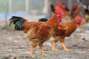 giá cả thị trường gà tại hải phòng