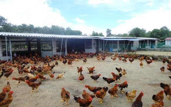 kinh nghiêm nuôi gà cho nông dân