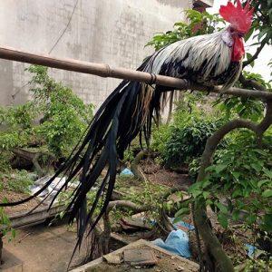 kinh nghiệm nuôi gà phoenix 2