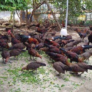 kinh nghiệm nuôi gà thịt 3