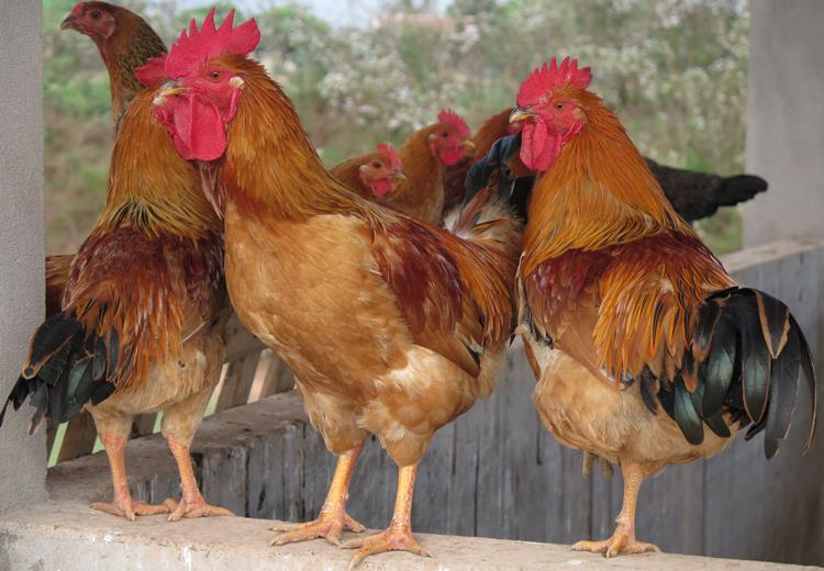 Điên bán thịt gà ta hưng yên