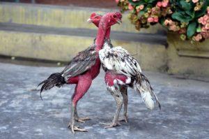 Hiện nay mô hình nuôi gà chọi thịt đang ngày càng phát triển.