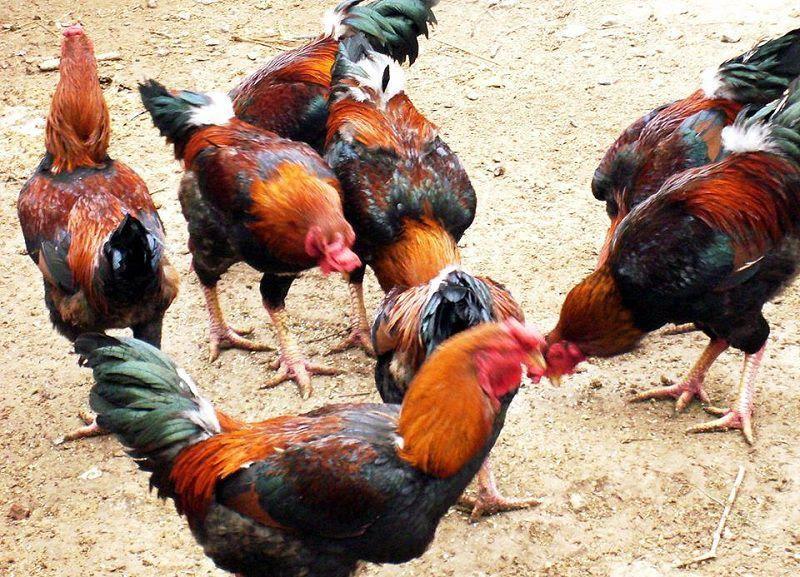 Phân biệt gà Hồ thuần chủng và gà Hồ lai