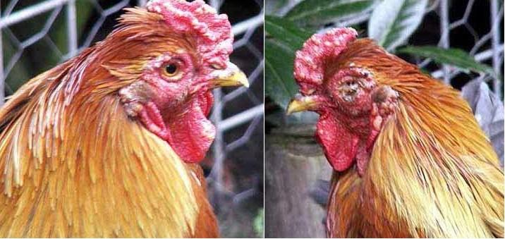 Các hạt mụn có kích thước bằng hạt đậu mọc ở đầu, mào, mắt, miệng gà đó là biểu hiện của bệnh đậu gà.
