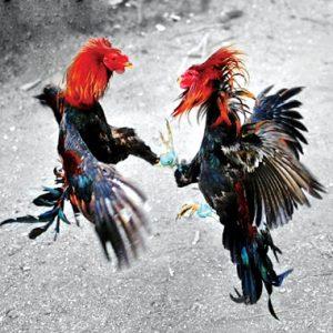 Tụ huyết trùng, viêm phế quản, dịch tả,... là những bệnh thường gặp ở gà chọi.