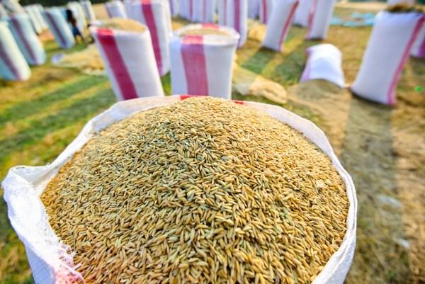 Lúa là một trong những thức ăn dinh dưỡng dành cho gà ri thuần chủng.