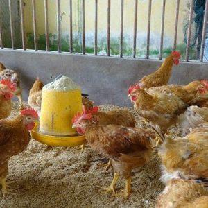 Để phân biệt gà Tàu vàng thuần chủng với các giống gà khác ta có thể phân biệt qua hình dáng, kích thước, tập tính,...