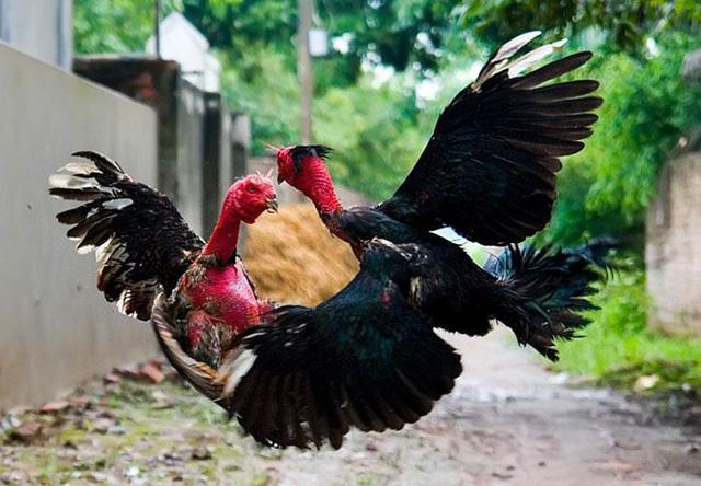 Gà chọi là giống gà có sức khỏe tốt và độ dẻo dai cao.