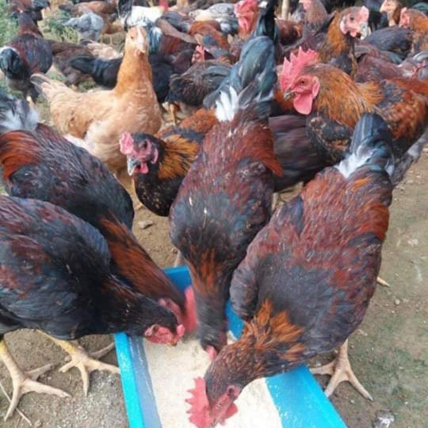 Gà chạy bộ là một đơn vị chuyên cung cấp gà chọi thịt uy tín.
