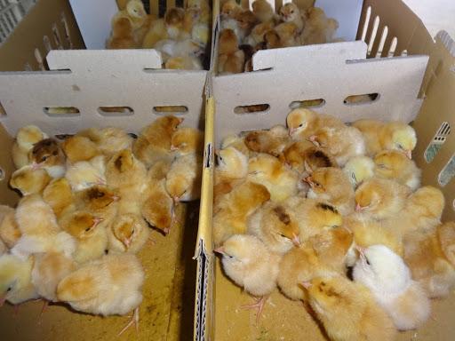 Gà giống Tàu vàng có mức giá giao động từ 17.000 đồng - 65.000 đồng/con tùy theo ngày tuổi.