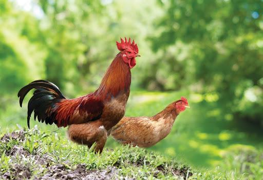 Mua gà ta thịt sạch đảm bảo ở đâu?