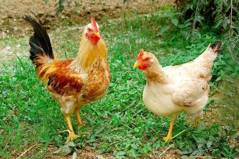 Những con gà ta khỏe mạnh thường tinh nhanh, mào gà đỏ tươi, lông óng mượt,...