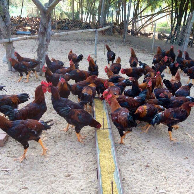 Chuồng trại có quy mô lớn, số lượng gà giống lớn, dịch vụ chất lượng tại Gà chạy bộ.